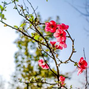 万株海棠吐芬芳 成都双流区第十五届海棠花会邀你赏花