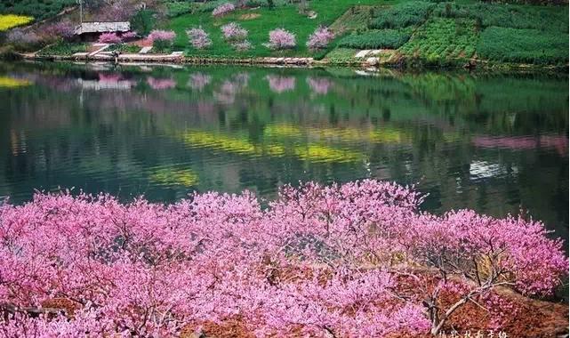 油菜花桃花梨花水上美景目不暇接