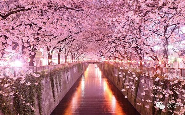 且樱花祭的时候河岸边还会挂上小灯笼
