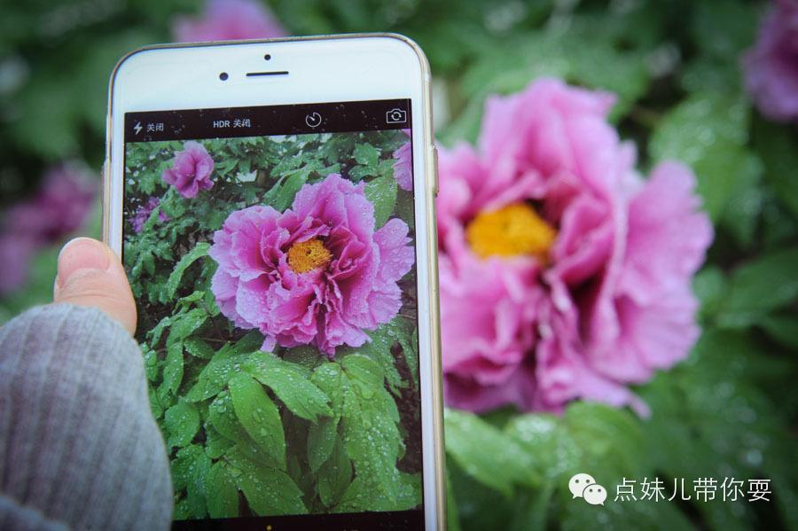 彭州牡丹:国色天香 知与谁同