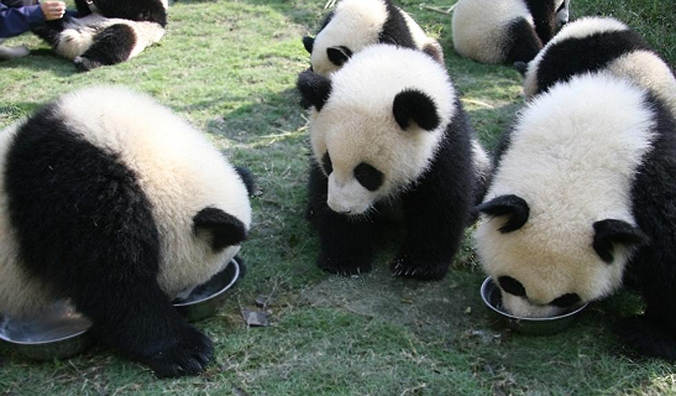 雅安大熊猫基地_你好熊猫_熊猫新闻_熊猫图片