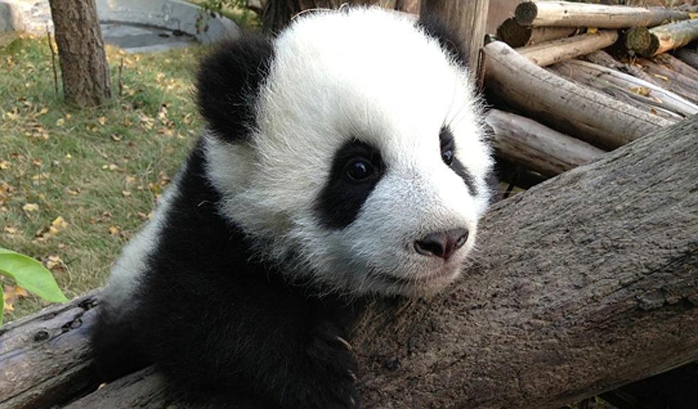 竹子一年四季常青,自古便有梅兰竹菊四君子、梅松竹岁寒三友等美称,而它被文人墨客所喜爱同时,也是国宝大熊猫的最爱。大熊猫喜欢吃的竹子大约有20多种,而生长在海拔2000米以上的巴山木竹,是圈养条件下的大熊猫最喜爱的竹子种类。