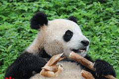 """都江堰青城山大熊猫基地:老龄熊猫的""""敬老院"""""""