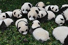 2015年新生大熊猫宝宝集中亮相雅安