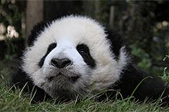 """午觉后的熊猫""""滚滚"""""""