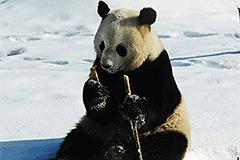 中国最北熊猫馆 萌团子雪中撒欢