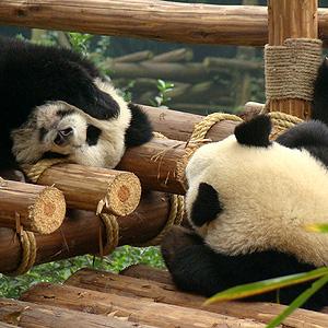 大熊貓國家公園橫跨川陜甘 2020年底前正式設立