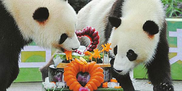 雙胞胎大熊貓冰冰、青青在成都歡度兩歲生日