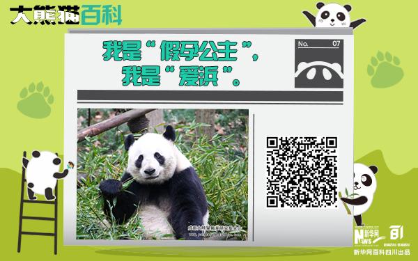 """大熊貓百科丨假孕天團代表""""愛浜"""""""
