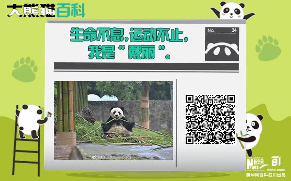 """大熊貓百科丨有一種堅強叫""""戴麗"""""""