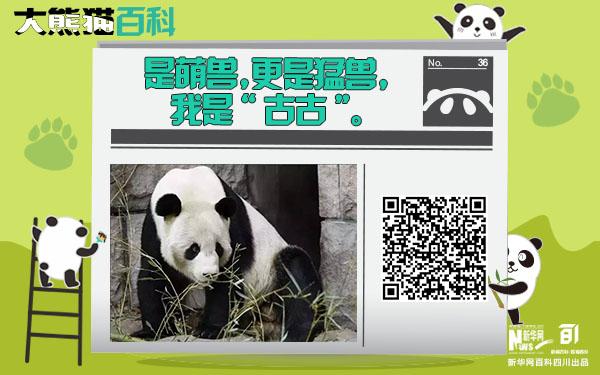 """大熊貓百科丨是萌獸更是猛獸""""古古"""""""