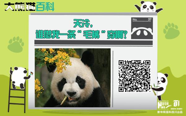 """大熊貓百科丨沒有""""毛褲""""穿的""""緣小"""""""