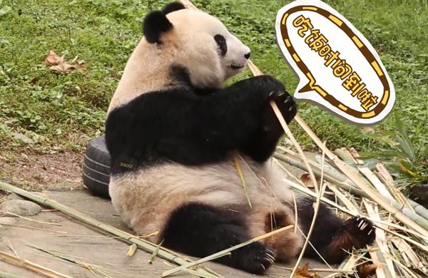 熊来疯短视频丨你以为只要是竹子熊家就会吃?
