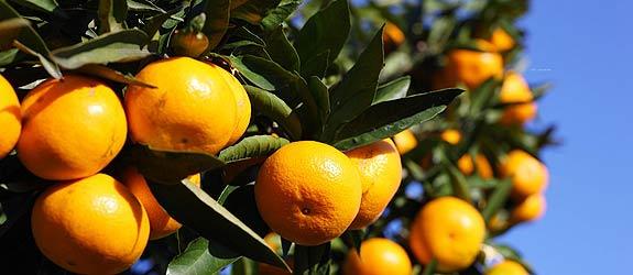 千畝晚熟柑橘標準化示范基地