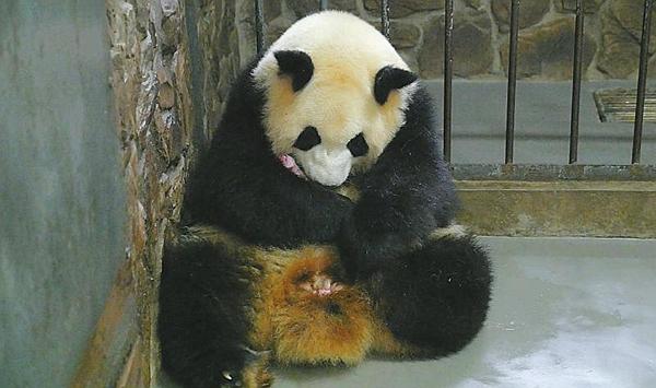 """成都大熊貓又生了 近1個月大熊貓基地新添7個""""娃"""""""