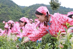 """四川大竹""""喊山開茶"""" 70歲茶農與祖國一起過生日"""