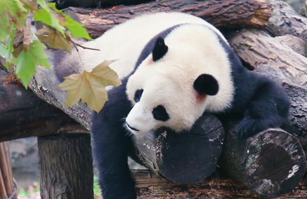 """大熊貓""""撩人心弦""""的睡姿"""