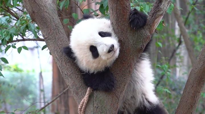 爬樹這項本領可是與生俱來的