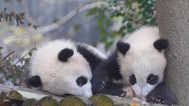 連熊貓都知道:要想睡覺香,姿勢得找對