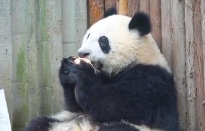 誰動了我熊貓的蘋果!?
