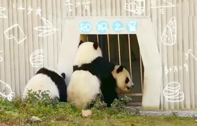 熊貓幼兒園開班啦