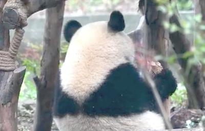 偷偷開小灶的熊貓