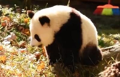 熊貓村的Vlog