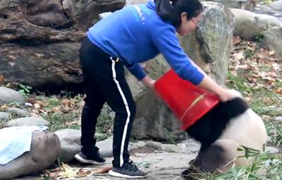 大熊貓妃妃與飼養員之間的周旋