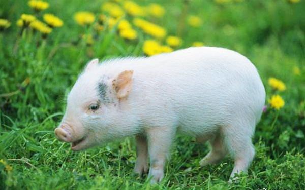 國社@四川|四川加快種豬擴繁恢復生豬産能