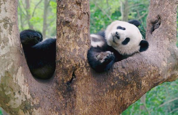 你的小可愛已上線!大熊貓的春日vlog
