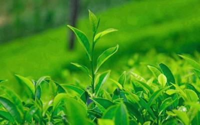 強化三大措施 確保春茶價格不降茶農收入不減