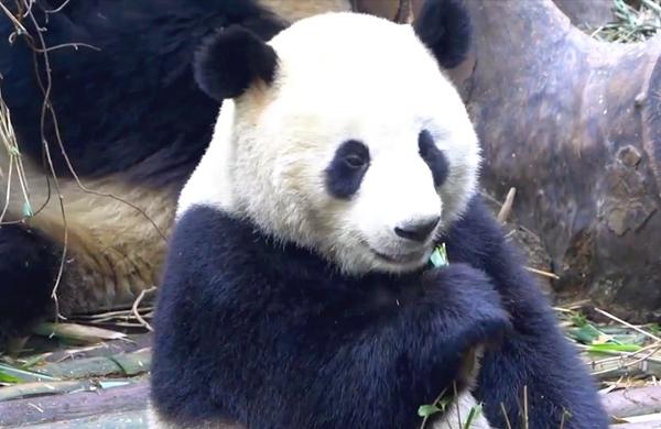熊貓本色出演:宅家這件事很重要!
