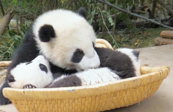 """熊貓""""鬧鐘"""":賴床的小可愛準備好了嗎?"""