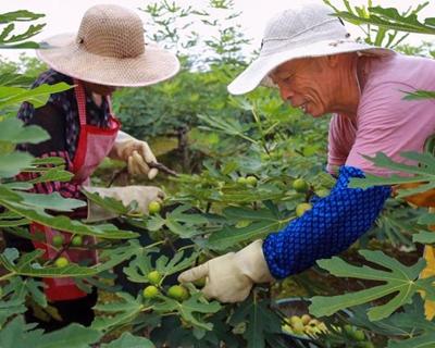 国社@四川|四川威远四方村捕鱼游戏应用下载:无花的果绽开致富的花
