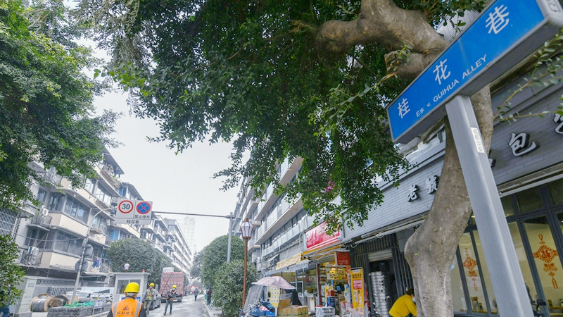 國社@四川|桂花巷的桂花樹又回來了