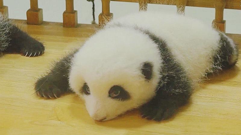 熊貓崽崽和花的成長日記
