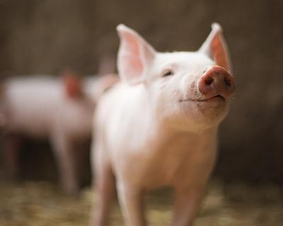 兩家川企入局 增強了川豬議價能力