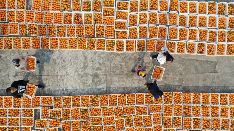 四川南充:柑橘慶豐收