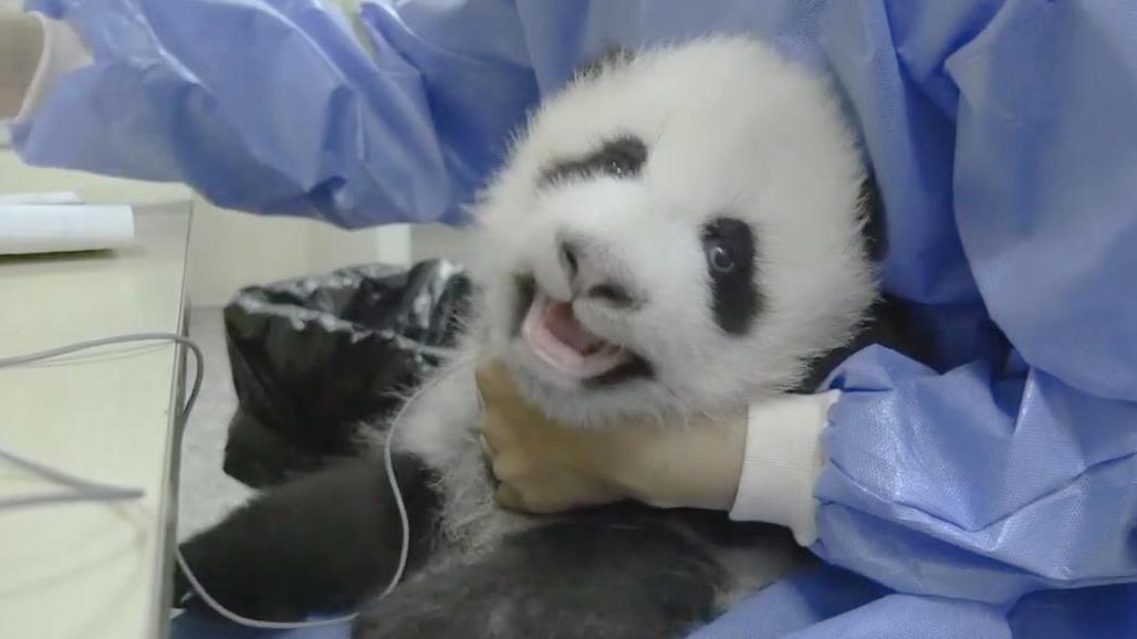 熊貓寶寶體檢是啥樣?